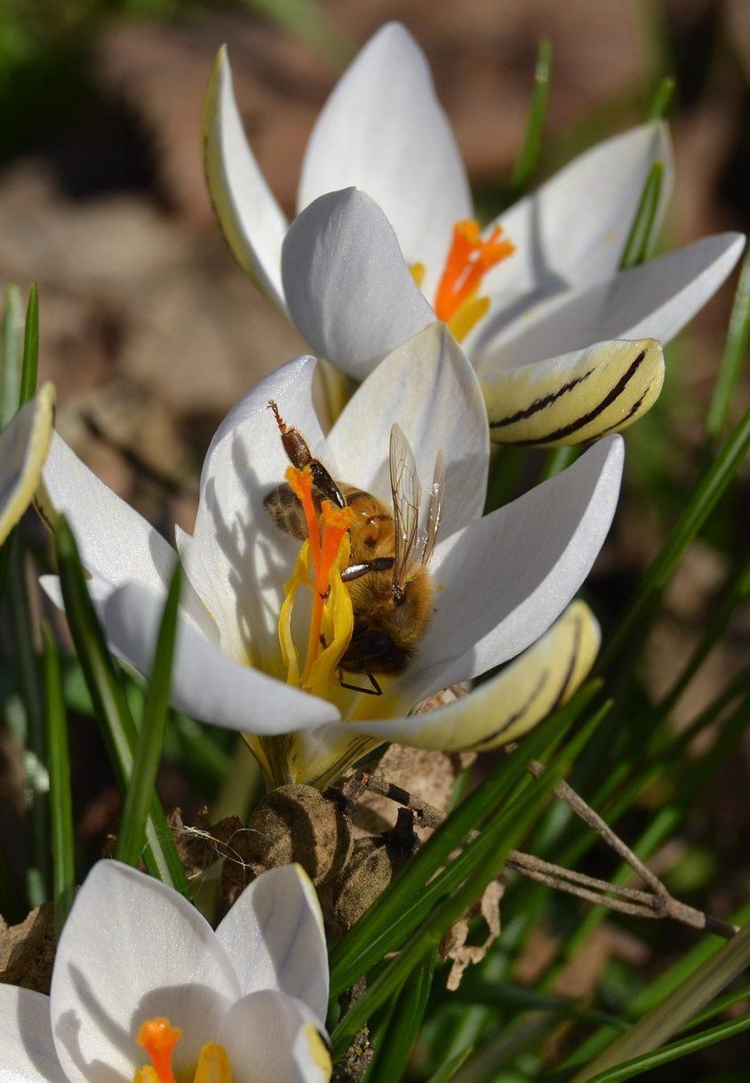Biologische bijenplanten