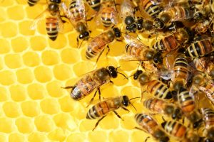 honey-bees-326337_1920