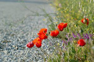 poppies-1585171_1920