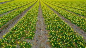 daffodil-field-562990_1280