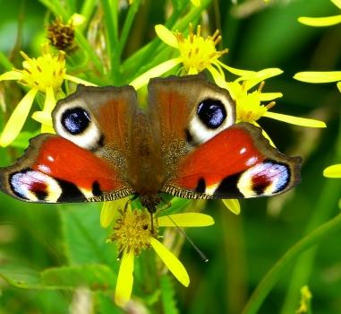 Lezing Vlinders in de tuin, Boskoop