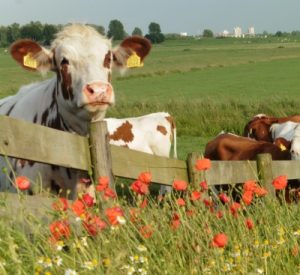 bloemrijke-rand-boerenland-koeien-2_400x367_acf_cropped