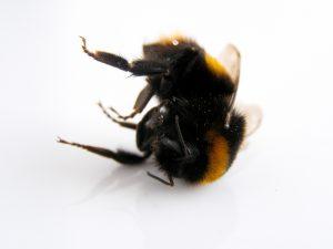 bumblebee-2229030_1920
