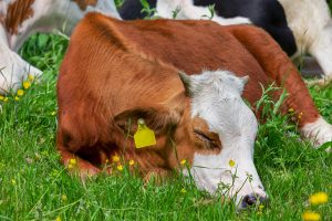 cow-3394868_1920