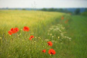 poppy-3108057_1920