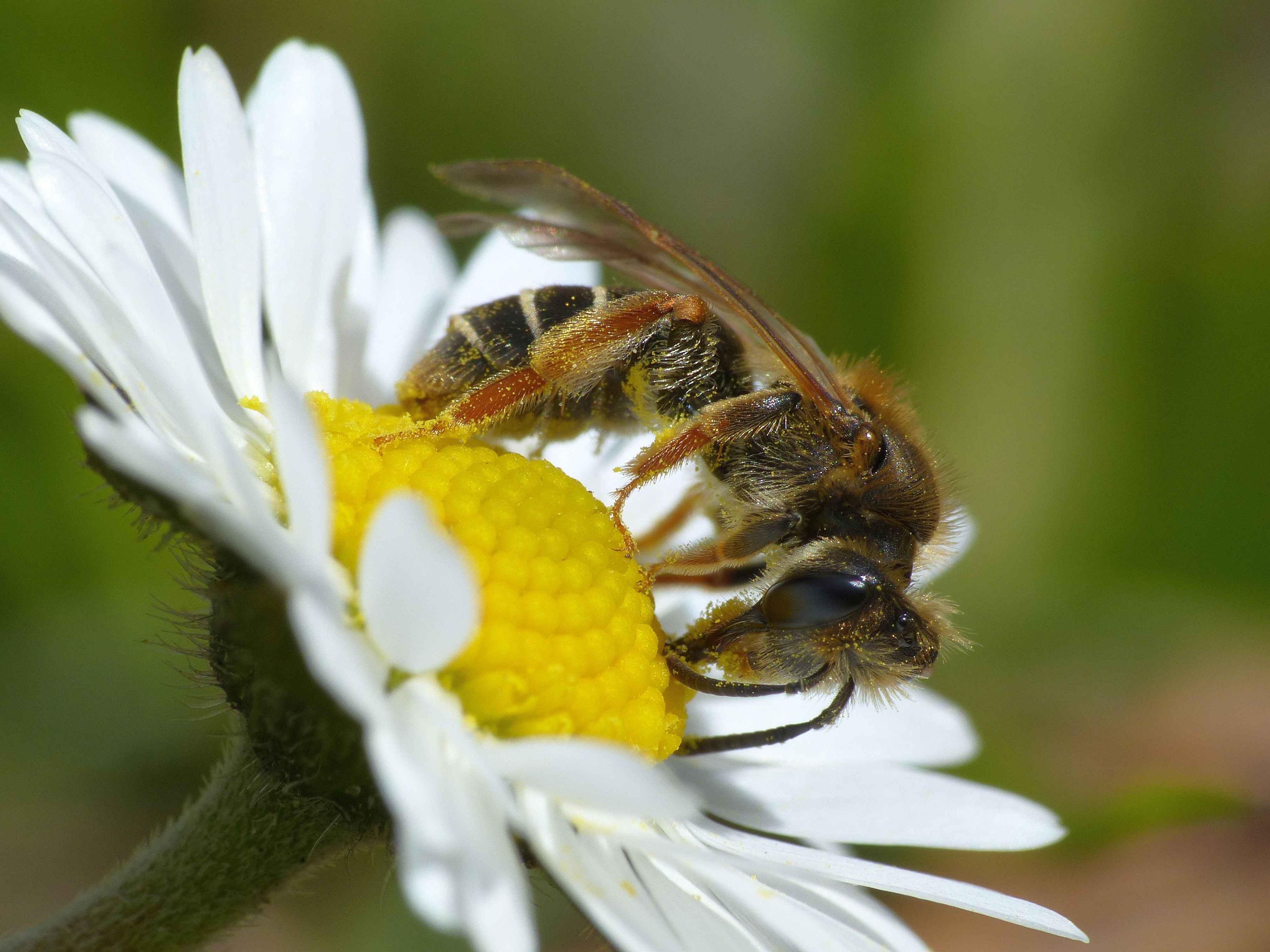 Stadsbijen: volkstuinen en tuinen kunnen helpen de achteruitgang te stoppen – Engels onderzoek