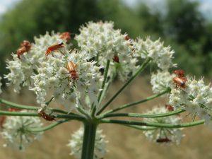 heracleum-sphondylium-855499_1920