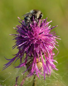 Bombus_veteranus_-_Centaurea_scabiosa_-_Keila wikimedia commons