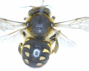 Zwartpootwolbij Anthidium 7spinosum dorsaal