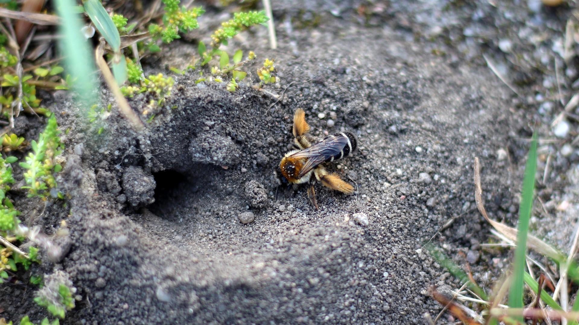 Maak een plek voor bodemnestelende bijen