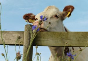 Koe met bloem