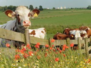 bloemrijke rand boerenland koeien 2