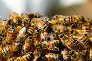 honey-bees-326334_1920
