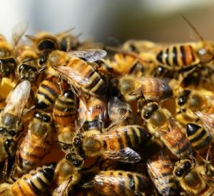 honey-bees-326334_1920_400x367_acf_cropped