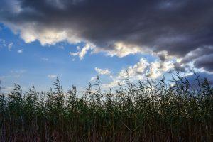 reeds-2834917_1920