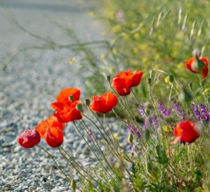 poppies-1585171_1920_400x367_acf_cropped