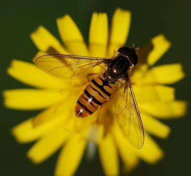 Bijen en zweefvliegen tellen, 13 – 14 april, Leiden