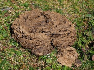 cow-dung-2799656_1920