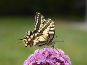 butterfly-4405448_1920