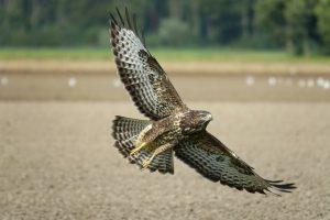 common-buzzard-4502027_1920