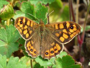 butterfly-saltacercas-2143277_1920