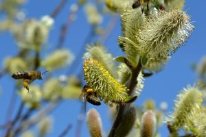 pussy-willow-502575_1920