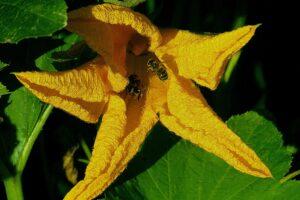 flower-zucchini-yellow-4380506_1920